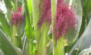 cara menanam jagung yang baik dan benar