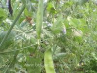 cara menanam kacang kapri