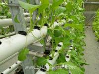 cara menanam sawi hidroponik