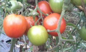 cara menanam tomat dari biji